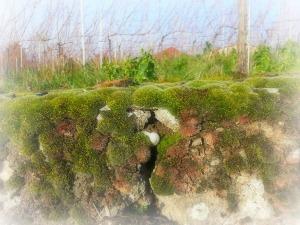 Moosige Steinmauer voller Leben