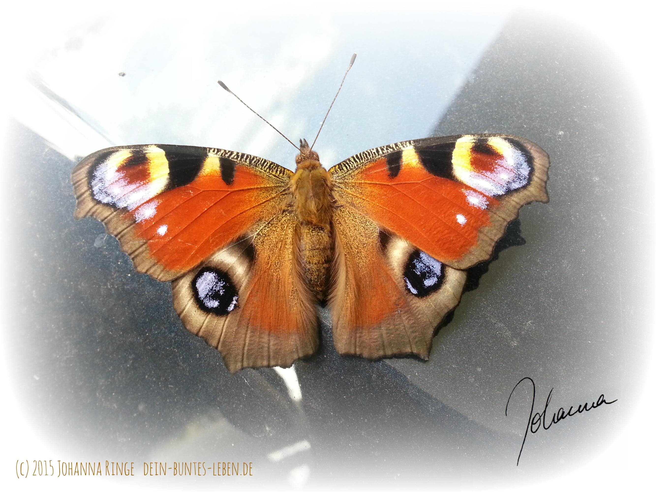 Ist ein Schmetterling lebendiger Perfektionismus? Oder einfach schön? (c)2015 Johanna Ringe
