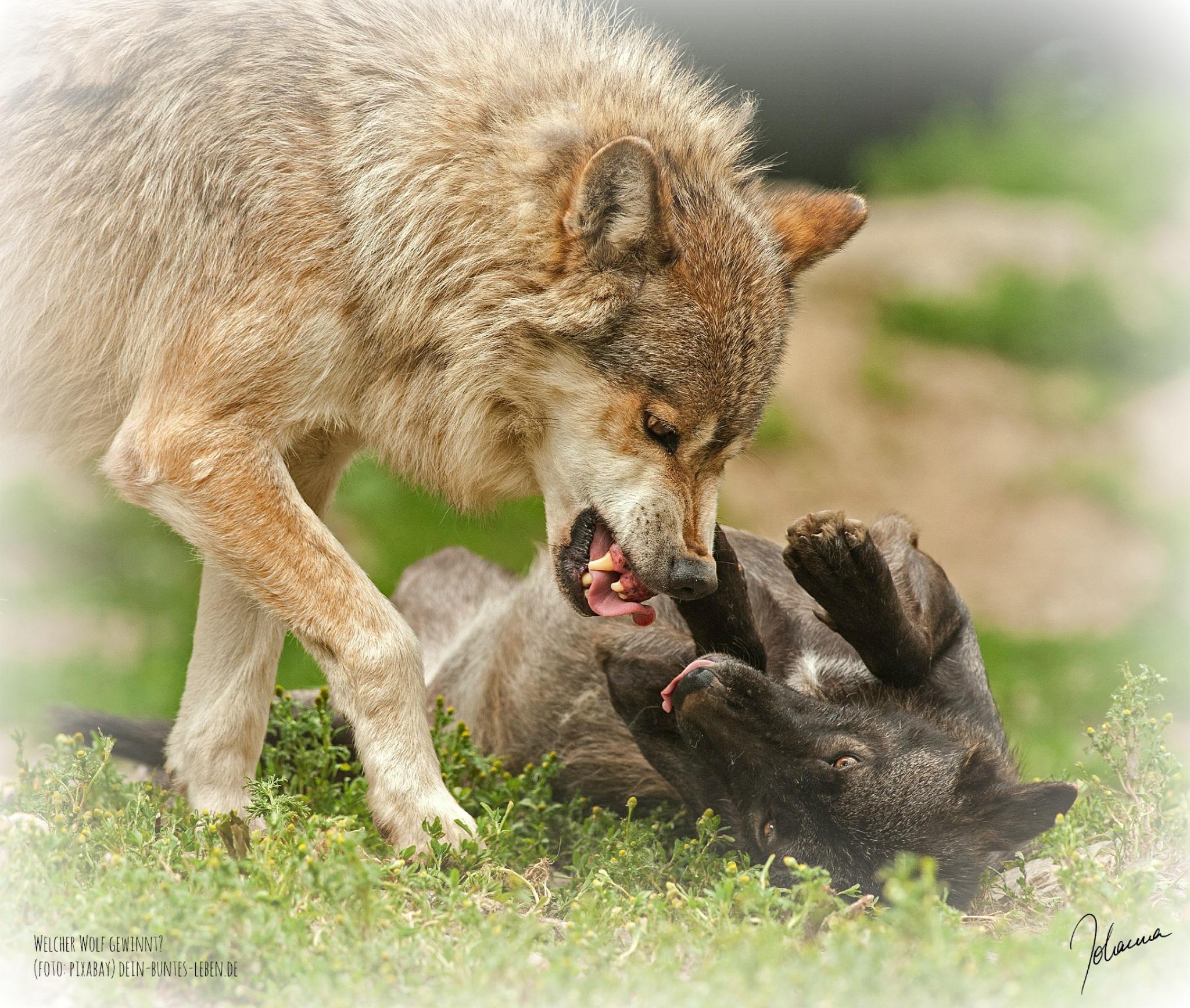 Welcher Wolf gewinnt? Der, den du fütterst! http://dein-buntes-leben.de