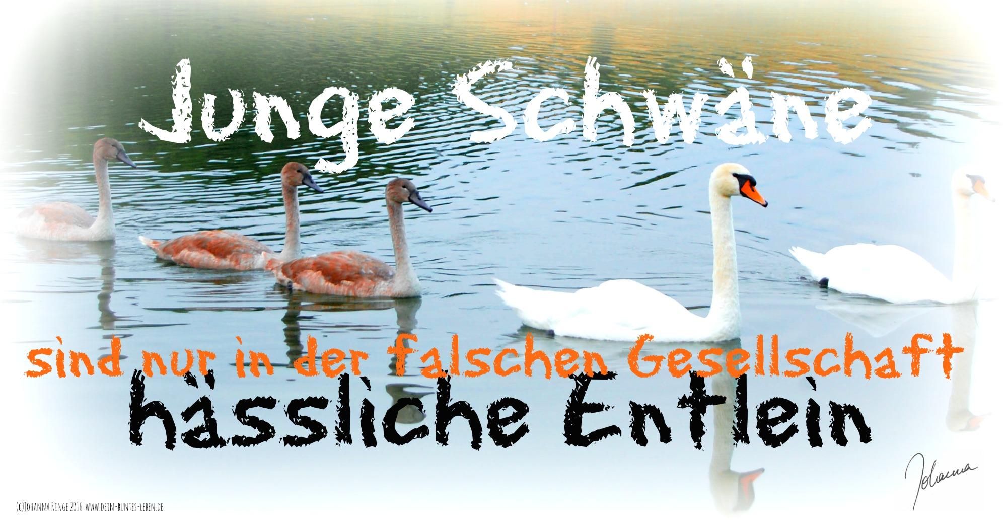 Schwäne sind keine Enten - (c) Johanna Ringe 2016 www.dein-buntes-leben.de