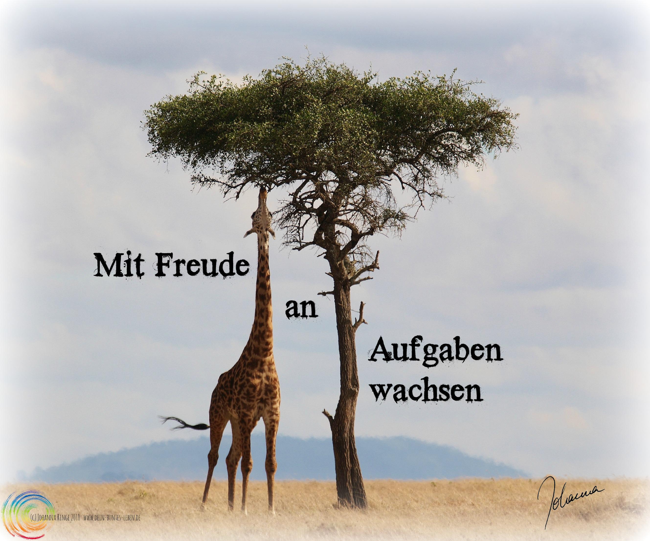 Foto von Giraffe die sich nach Blättern streckt mit Text: Mit Freude an Aufgaben wachsen (c)Johanna Ringe 2018 www.dein-buntes-leben.de