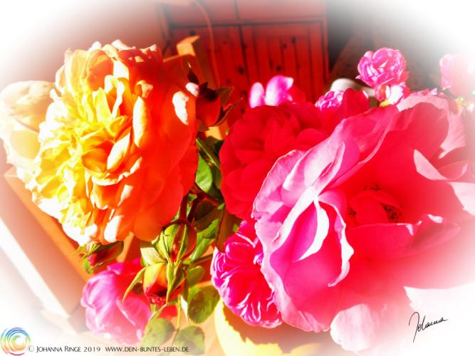 Heute schon gestrahlt, Sonnenschein? Photo von strahlenden Rosenblüten ©Johanna Ringe 2019 www.dein-buntes-leben.de